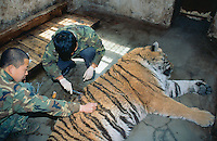 China. Province of Heilongjiang. Harbin. Siberia Tiger Park. A group of veterinary surgeons, dressed with military clothes, treats a wounded tiger which sleeps under narcosis. The tiger lays on the concrete ground in its cell cage. © 2004 Didier Ruef