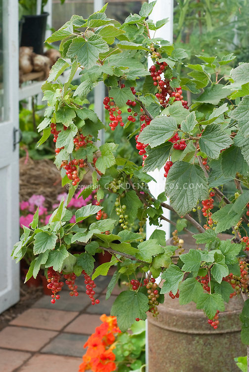 Red currants outside greenhouse