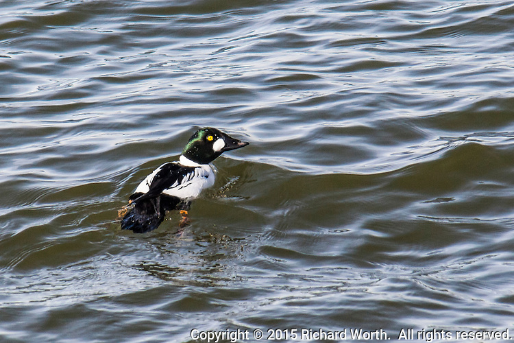 A Common goldeneye paddles in the waters of San Leandro Bay before diving in its near constant search for food.  Martin Luther King, Jr. Regional Shoreline, Oakland, California.
