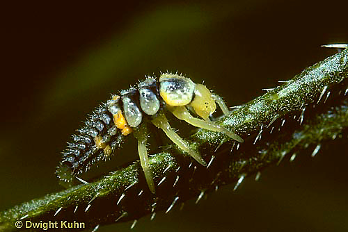 1C02-029z  Seven-spotted Ladybug larva, Coccinella septempunctata