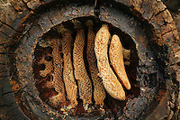 A hollow log hive of theCevennes reveals the details of circular comb architecture. Honey has already been harvested from this hive, on the left, honey-loaded combs have been cut with a curved blade. The hollow log hive is covered with a stone shingle, a major improvement from the straw hive as it allows to harvest part of the honey without destroying the colony.