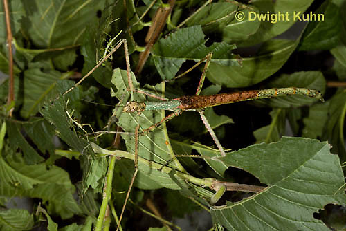 OR07-521z  Walking Stick Insect female, camouflaged on tree,  Acrophylla wuelfingi