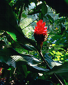 Torch Ginger, Alpina Purpurata, Lyon Arboretum, Oahu, Hawaii, USA<br />