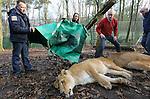 Foto: VidiPhoto<br /> <br /> ARNHEM - Eva, Sonja, Irma en Nicolette, de vier gesteriliseerde leeuwinnen van Burgers' Zoo in Arnhem, zijn dinsdag op transport gegaan richting de dierentuin van Dvur Kralove in Tjechi&euml;. Vrijdag arriveren vier nieuwe leeuwinnen vanuit Givskud (Denemarken), waarmee de Arnhemse dierentuin weer kan fokken. De vier leeuwinnen die nu vertrokken zijn, waren genetisch verwant aan de twee mannetjes leeuwen van Burgers' Zoo. Om inteelt te voorkomen zijn de leeuwinnen daarom gesteriliseerd. Het viertal is respectievelijk in 1998, 2000, 2002 en 2006 in Arnhem geboren. Burgers' Zoo was vroeger wereldberoemd om zijn leeuwenfok. De dierentuin was zelfs zo succesvol dat er in Europa en Noord-Amerika vrijwel geen leeuw te vinden was die niet genetisch te herleiden was tot voorouders in Arnhem. Zelfs de beroemde brullende leeuw in de openingstrailer van MGM Studios in Hollywood heeft Arnhems bloed door de aderen stromen.