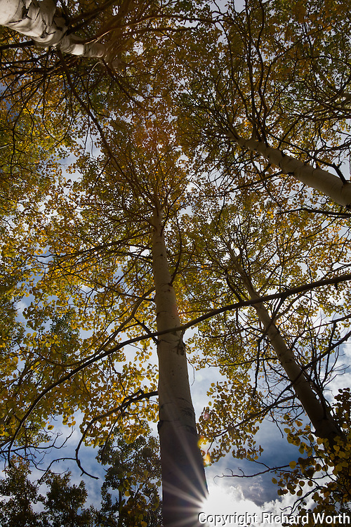 Looking up into a cluster of aspen all dressed up in autumn's color with the sun peeking in below.   Eastern Sierras, Inyo National Forest.