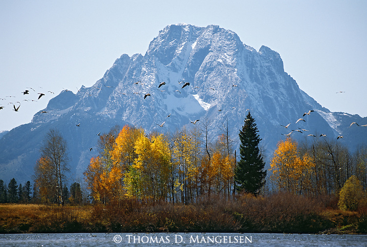 Canada geese fly above a grove of aspen trees, backdropped by Mount Moran in Grand Teton National Park, Wyoming.