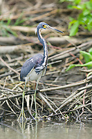 Tri-colored Heron, Tortuguero, Costa Rica, Central America.
