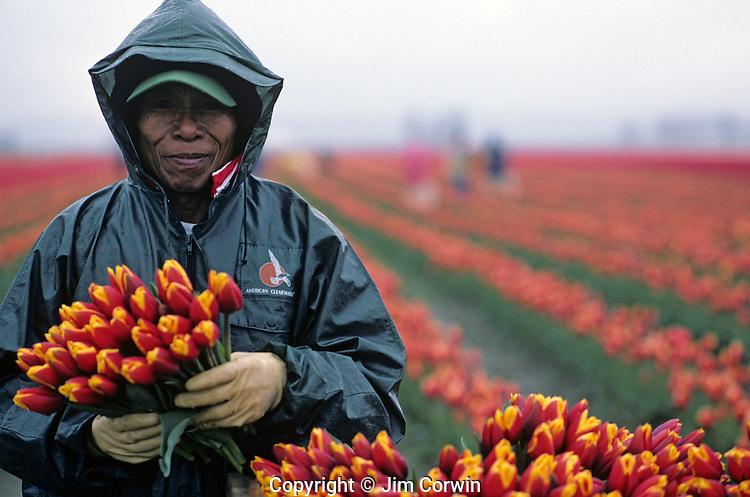 Worker picking tulipsin field  portrait Skagit County near Mount Vernon Washington State