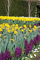 Spring flowering bulbs at Wisley, Narcissus, Hyacinthus Woodstock, daffodils and hyacinths, Hyacinth Woodstock, Yellow Daffodils, English Daisies Bellis perennis Belissima White & Birch Trees in spring bloom, wide view, with green hedge, purple and yellow and white colors, garden use planting combination