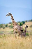 Masai Giraffes, Masai Mara, Kenya, Africa