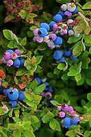 Maine Blueberries  #N11