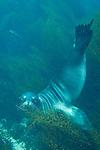 Coronado Islands, Baja California, Mexico; a California Sea Lion swimming in the shallow water near the rocky shoreline , Copyright © Matthew Meier, matthewmeierphoto.com All Rights Reserved