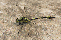 Black-shouldered Spinyleg (Dromogomphus spinosus) - Juvenile male, Conant Brook Dam, Monson, Hampden County, Massachusetts