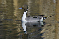 Northern Pintail swimming on a golden pond