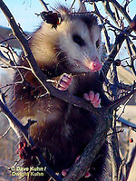 Pouched, Marsupials