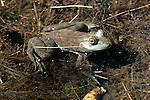 Bullfrog in a pond