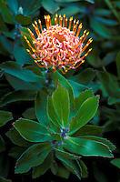 Pin cushion protea from Kula, Island of Maui