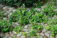 Fragaria groundcover wild strawberries fruit berry amid stone path