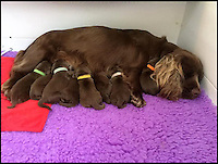 BNPS.co.uk (01202 558833)<br /> Pic: VanBennett/BNPS<br /> <br /> Sussex Spaniel mother Audrey with her 8 puppies.<br /> <br /> Whisper it quietly...but this puppy could be a lifeline for one of Britains rarest native dog breeds.Only 49 Sussex Spaniels were registered last year with the kennel club - making the ancient British breed rarer than White Rhino's, Tigers or even Giant Panda's. <br /> <br /> Plucky British dog breeds like these adorable Skye Terriers, Sussex Spaniels and Otterhounds are more endangered than the Giant Panda due to the modern infatuation with fashionable crossbreeds and foreign invaders.<br /> <br /> The unprecedented rise in popularity of 'handbag dogs' has put many traditional breeds on the brink of extinction. <br /> <br /> The bottom three in last years KC figures are Skye Terriers(28), Otterhounds(40) and Sussex Spaniels(49) making these adorable puppies a vital lifeline for their historic breeds - by contrast over 20,000 French Bulldog's were registered in 2016.