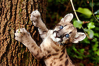 Calusa a 2-month-old Florida panther cub scratches at a tree during her playtime at Lowry Park Zoo in Tampa on Sept. 11, 2007. Lucy, as her caretakers call her, was found abandoned and lethargic by wildlife officers then was placed with the zoo by the Florida Fish and Wildlife Conservation Commision on Aug. 8. Lucy will likely go on display at the zoo in 6-8 weeks.