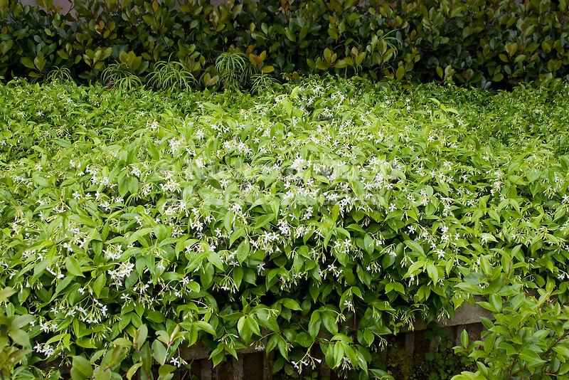 star jasmine trachelospermum jasminoides richard shiell. Black Bedroom Furniture Sets. Home Design Ideas