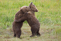Alaskan brown bear Brown bear cubs play fighting during the short Alaskan summer