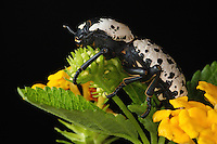 Ironclad beetles belong to a small family of beetles which contains only about 20 species. These beetles are found mostly in the western and southwestern United States. These beetles are unique in that they have no hind wings and their front wings are fused together. Thus they do not fly but crawl from place to place.