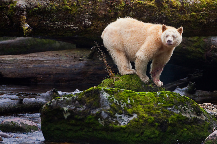 "Kermode ""Spirit"" Bear (Ursus americanus kermodei) watching from a mossy rock on Gribble Island, British Columbia, Canada"