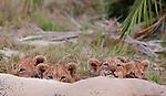 Lion, Botswana