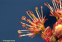 MP06-005b  Red Maple male flowers - Acer rubrum