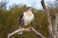 Ferruginous Hawk (Buteo regalis), Arizona, USA.