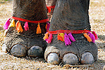 An Asian elephants (elephas maximus)feet decorated with colored cotten for the Elephant Asia festival at Hongsa, Laos.