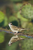 Lark Sparrow, Chondestes grammacus, adult drinking, Uvalde County, Hill Country, Texas, USA