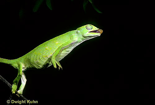 CH03-073z  African Chameleon - preparing to shoot out tongue to catch prey - Chameleo senegalensis