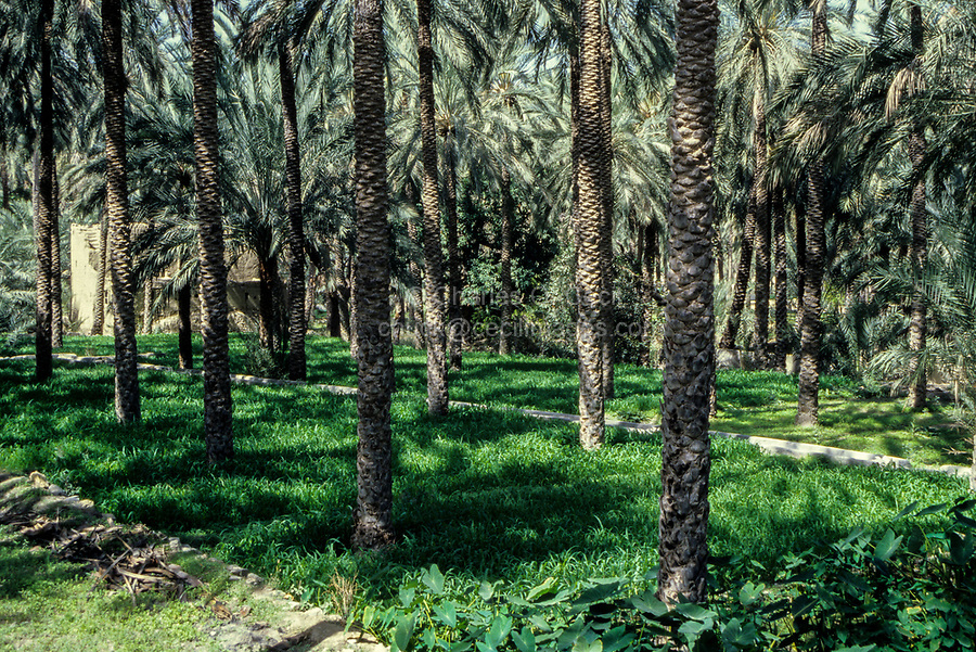 Nakhal, Oman.  Inside a Date Garden.  Irrigation channel running across the middle.
