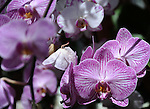 Purple Orchids flowers angiospermae Orchis cross-pollination perennial epiphytes lithophytes nearly all temperate orchids are terrestrial Orchids are easily distinguished as they share some very evident apomorphies, The flowering stem can be basal,