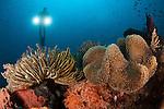 Diver illuminates mushroom leather coral: Sarcophyton sp. and Crinoid (Crinoid sp.) with twin lamps, Raja Ampat, Indonesia