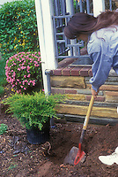 Woman planting a shrub next to house, with garden shovel and planting hole, front porch, flowering bush; Old Gold Juniper gardening