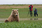 Brown bear & photographers, Alaska