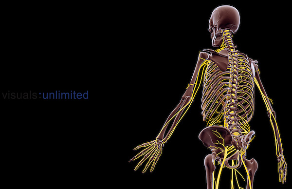 An inferior posterolateral view (left side) of the nerve supply of the upper body.   Royalty Free