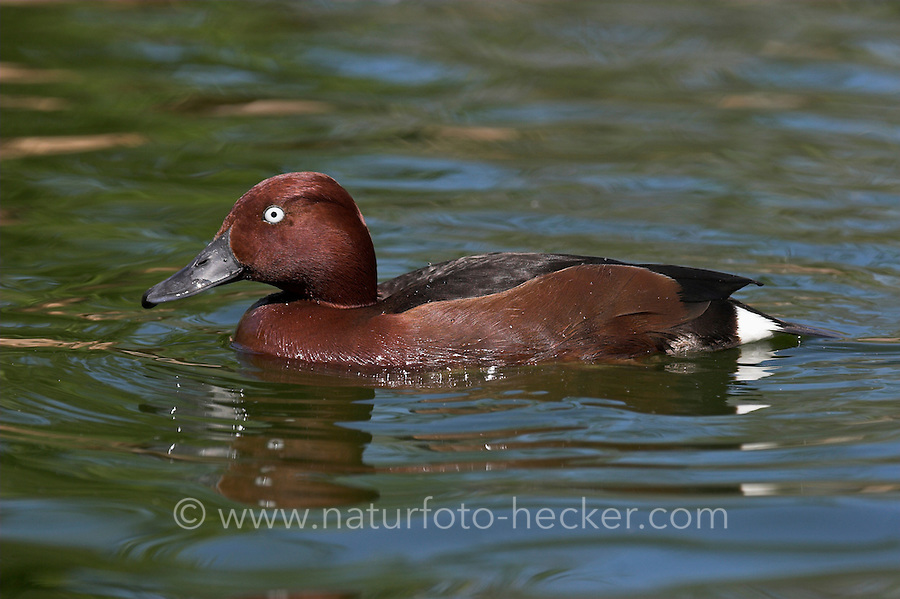 Moorente, Männchen, Moor-Ente, Aythya nyroca, Ferruginous Duck, White-eyed Pochard, Fuligule nyroca
