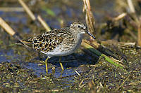 Least Sandpiper standing in some marshy water