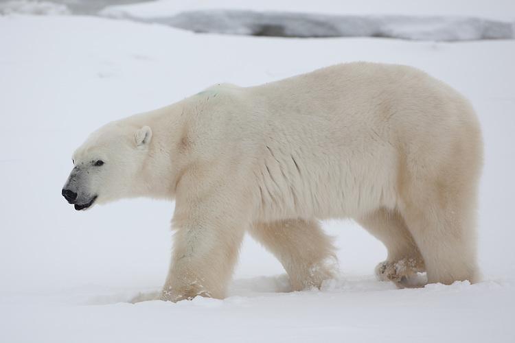 Polar Bear walking through the snow