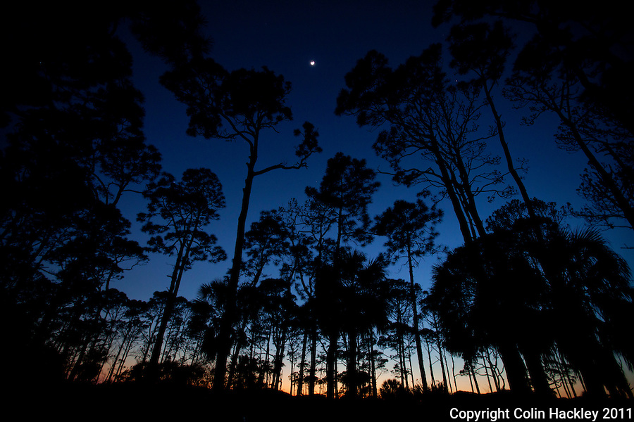 CAPE SAN BLAS, FLA. 4/9/2011-CAPESANBLAS040911 CH-The moon is framed by pines at St. Joseph Peninsula State Park near Port St. Joe, Fla..COLIN HACKLEY PHOTO