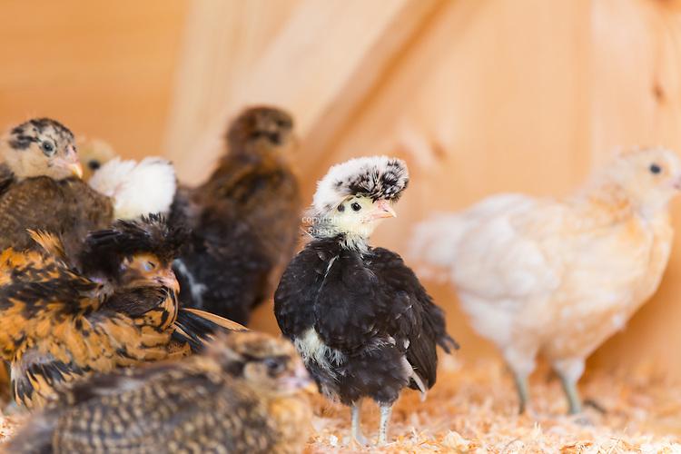 Chickens and coop, Bainbridge Island, WA, USA