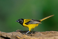 561850010 a wild male audubons oriole icterus graduacauda perches on a large dead tree log on a private ranch in the rio grande valley of south texas