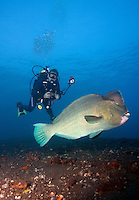 September 12th 2007- Bali, Indonesia- Some very large Bumphead parrotfish cruise the waters near a dive site known as Liberty wreck, which is located near the Tulamben area of North East Bali. Bali's signature dive site, the Liberty wreck came about, when U.S. forces deliberately beached the U.S.S. Liberty, a cargo ship, on its black-pebble shores during World War II, to stop it falling into the hands of the Japanese. The ship sat on the beach until nearby Mount Agung erupted in 1967, pushing the wreck into the sea.  The ship is now almost perfectly positioned, with the top of its [masts just four meters from the surface, easily reached even by snorkelers. The bottom of the ship, which rests slightly on its side, still easy to reach for recreational divers at 35 meters.  Photograph by Daniel J. Groshong/Tayo Photo Group