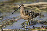 Long-billed Dowitcher wading through some weedy water