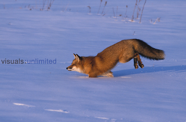 A Red Fox running in the snow. ,Vulpes vulpes, Wisconsin