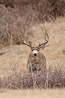 Mule deer (Odocoileus hemionus) trophy Colorado buck